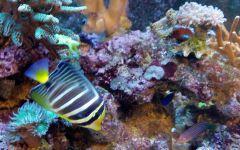 korals (1)
