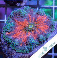 premium frags ultra ricordea yuma coralhouse 5