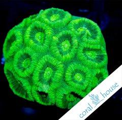 favia-ultra-green.jpg