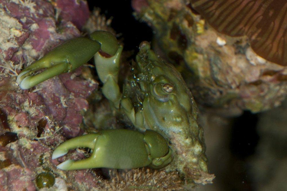 big_1200px-Female-Mithraculus-sculptus-Crab.jpg