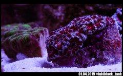 acana_red_silver_DSC01582_o.jpg