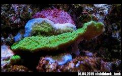 montipora_green_DSC01544.jpg