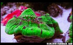 tracho_green_DSC01532.jpg